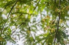 罗望子树花 免版税库存照片