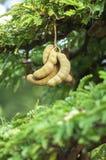 罗望子树 库存图片