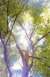 罗望子树 免版税图库摄影