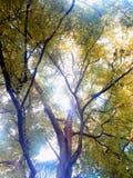 罗望子树 库存照片