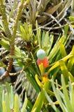罗汉松macrophyllus 免版税库存照片