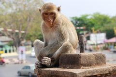 罗猴在街道的短尾猿或Bhandar猴子 免版税库存照片