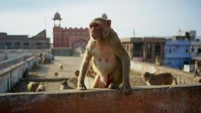 罗猴短尾猿搬入城市并且窃取了从人,斋浦尔的许多事在印度 库存图片