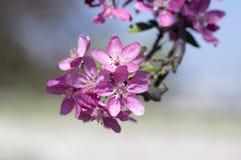 罗盘星座皇族,装饰苹果树,春天,在分支的紫色桃红色花 图库摄影