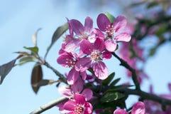 罗盘星座皇族,装饰苹果树,春天,在分支的紫色桃红色花 免版税库存照片
