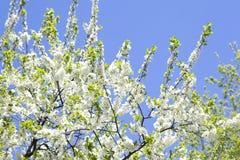 罗盘星座domestica 反对蓝色多云天空的苹果树开花 免版税库存图片