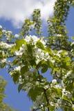 罗盘星座domestica 反对蓝色多云天空的苹果树开花 图库摄影