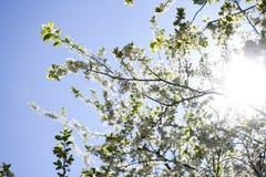 罗盘星座domestica 反对蓝色多云天空的苹果树开花 库存照片