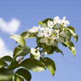 罗盘星座domestica 反对蓝色多云天空的苹果树开花 库存图片