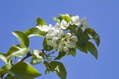 罗盘星座domestica 反对蓝色多云天空的苹果树开花 免版税图库摄影
