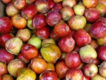罗盘星座pumila共同地告诉了Apples待售 喀拉拉,印度 免版税库存照片