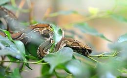 罗素的蛇蝎在树分支的Daboia russelii  免版税库存图片