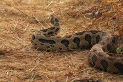 罗素蛇蝎 库存照片