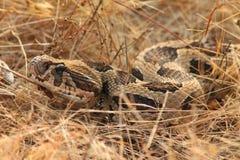 罗素蛇蝎 图库摄影