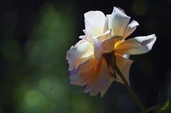 罗莎和平在庭院里 库存照片
