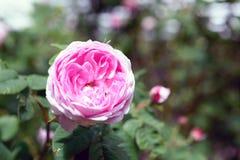 罗莎centifolia花 库存照片