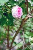 罗莎centifolia花 免版税图库摄影
