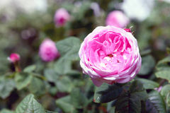 罗莎centifolia花 免版税库存照片