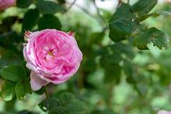 罗莎centifolia花 库存图片