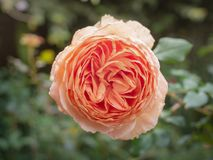罗莎Centifolia 库存图片