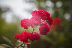 罗莎polyantha 库存照片