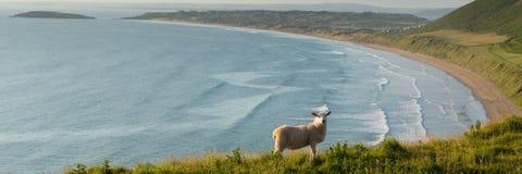 罗西里海滩Gower半岛有绵羊全景的南威尔士英国 免版税库存照片