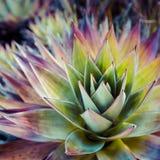 从罗赖马山的地方性植物在委内瑞拉 库存照片