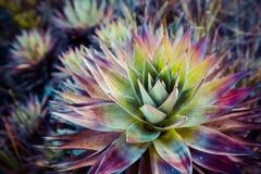 从罗赖马山的地方性植物在委内瑞拉 免版税库存图片