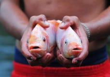 罗非鱼在手上 图库摄影