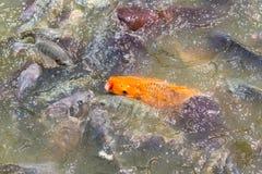 罗非鱼鱼在农场 免版税库存图片