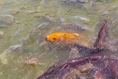 罗非鱼鱼在农场 免版税库存照片