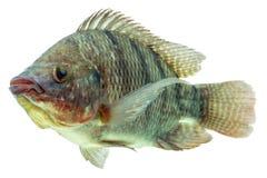 罗非鱼鱼外形 免版税库存照片