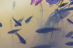 罗非鱼鱼 库存图片