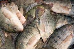 罗非鱼 免版税图库摄影