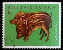 罗马尼亚打印的邮票,展示野生猪 图库摄影