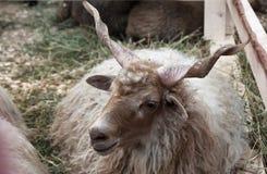 罗马尼亚绵羊 库存照片
