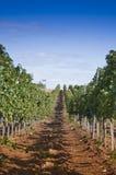 罗马尼亚wineyard小山 库存图片