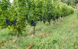 罗马尼亚wineyard小山 图库摄影