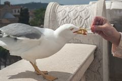 罗马意大利,欧洲 一只手吃鸽子的特写镜头在Sant安吉洛Castel的屋顶的, 图库摄影