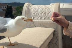 罗马意大利,欧洲 一只手吃鸽子的特写镜头在Sant安吉洛Castel的屋顶的, 免版税图库摄影