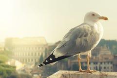 罗马斗兽场和海鸥 意大利罗马 免版税库存照片