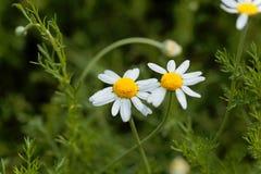 罗马春黄菊, nobile的Chamaemelum 免版税图库摄影
