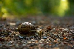 罗马蜗牛、蜗牛、伯根地蜗牛或者Escargot 库存图片