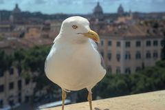 罗马,意大利,鸽子的特写镜头坐Sant安吉洛castel的屋顶 免版税库存照片