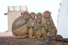 罗猴家庭  库存图片