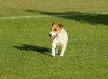 罗素狗 库存照片