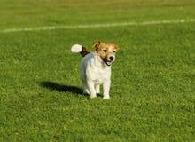 罗素狗 免版税库存照片
