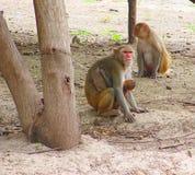 罗猴短尾猿与孩子的猴子家庭在森林里 库存照片