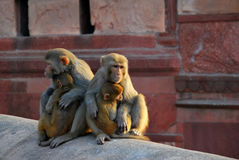 罗猴短尾猿凝视 库存图片
