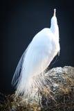 罚款用羽毛装饰的白鹭 免版税库存照片